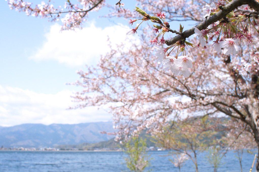 海津大崎、湖畔の桜