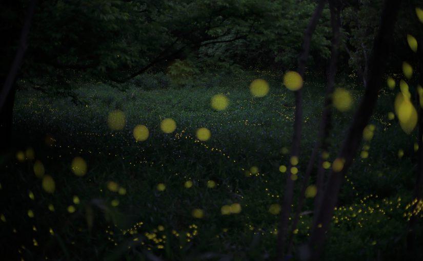 今週末が発光のピーク! 吹田市・千里第4緑地(高町公園)のヒメボタル カメラマンはマナーアップと心配りを